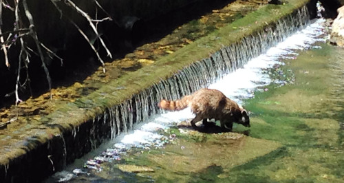 When we were at the northern end of Backbone State Park, we spotted this raccoon, playing in a trout stream.