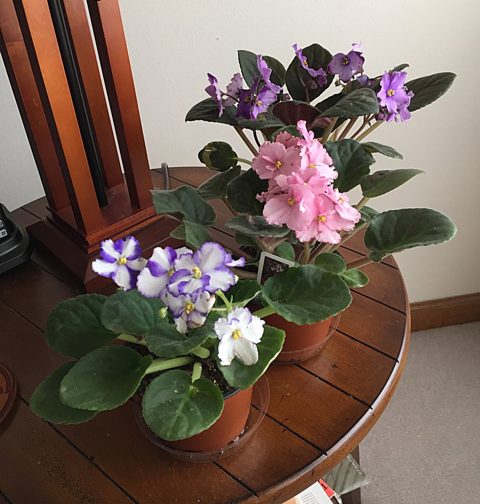 While I was recuperating from surgery, John brought me some African violets to tend.